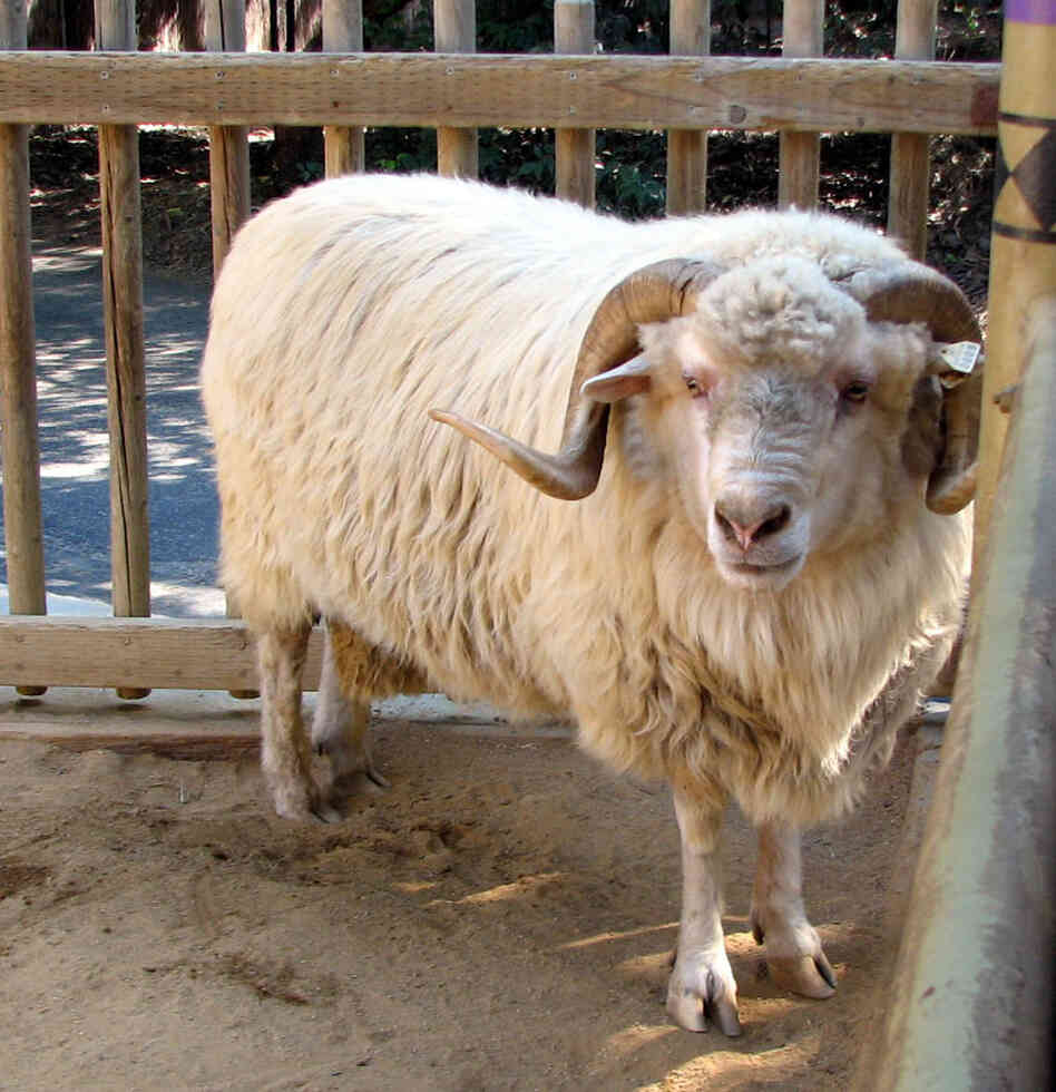 A Churro sheep. Wikimedia Commons