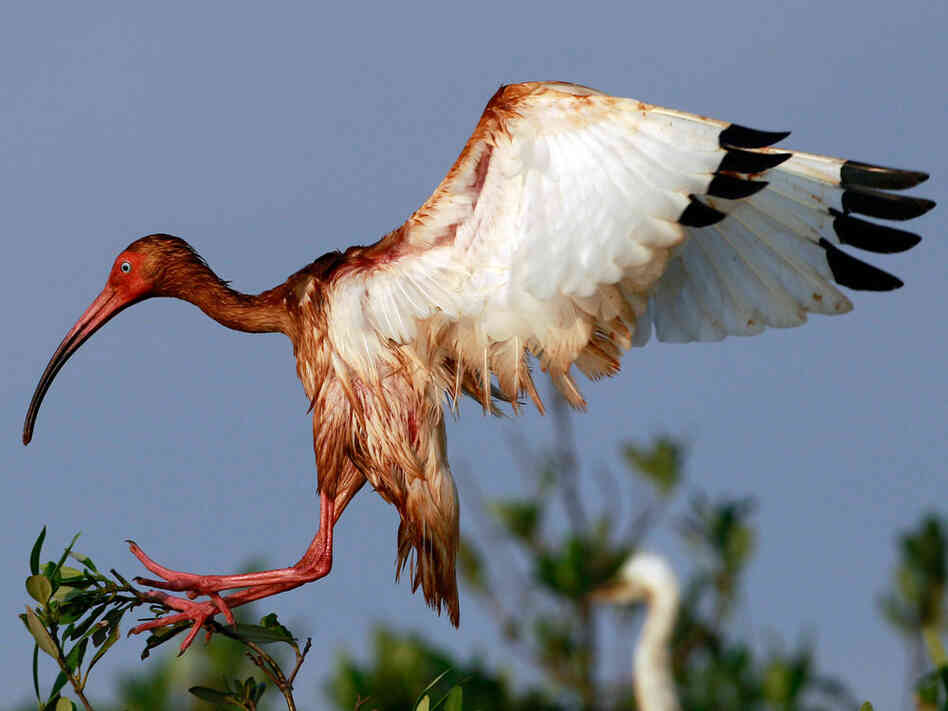 An oiled white ibis lands on an island in Barataria Bay off the coast of Louisiana June 8.