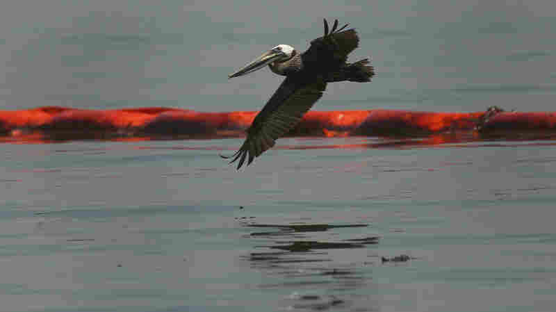 A pelican flies over an oil boom and slick near Grand Isle, La., on Monday.