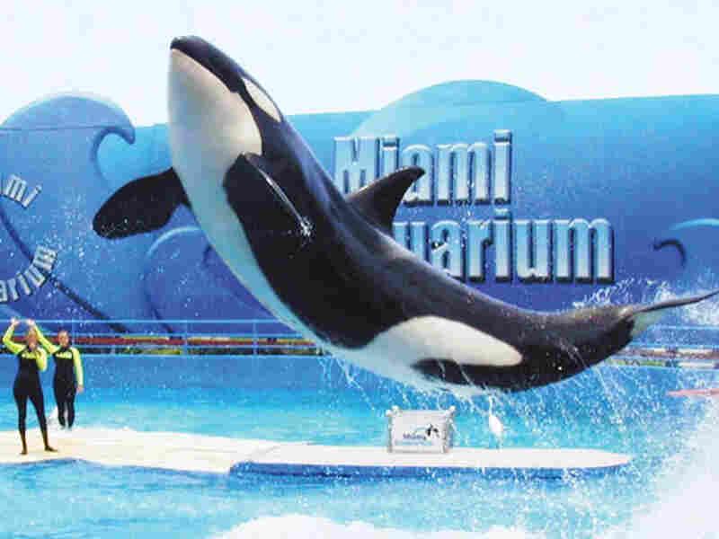 Killer whale at Miami Seaquarium