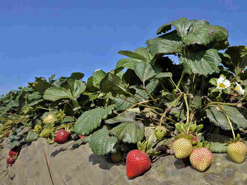 Strawberries growing in a field in Ventura, Calif.