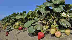 Strawberries growing in a field in Ventura, Calif.