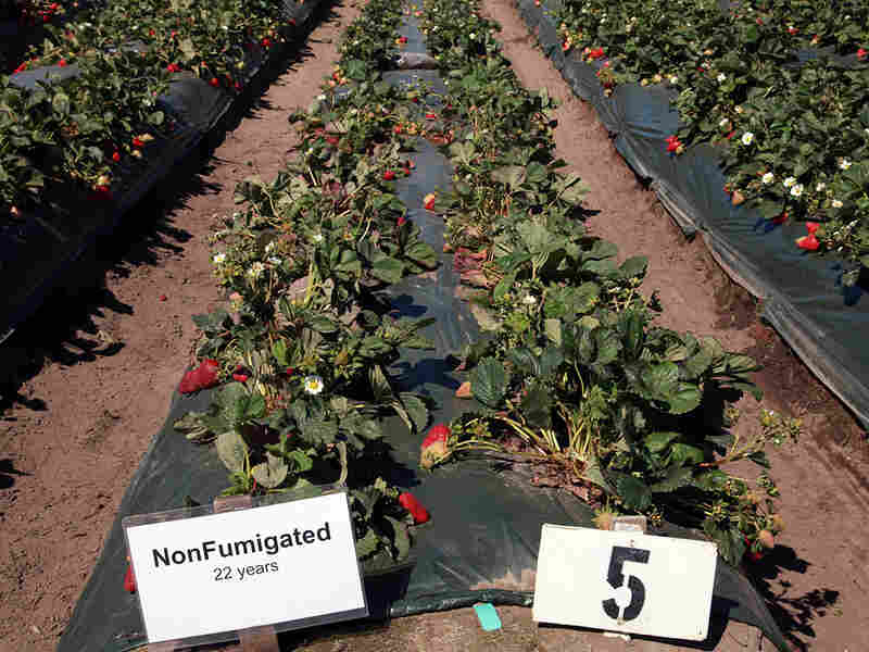 Non-fumigated strawberries