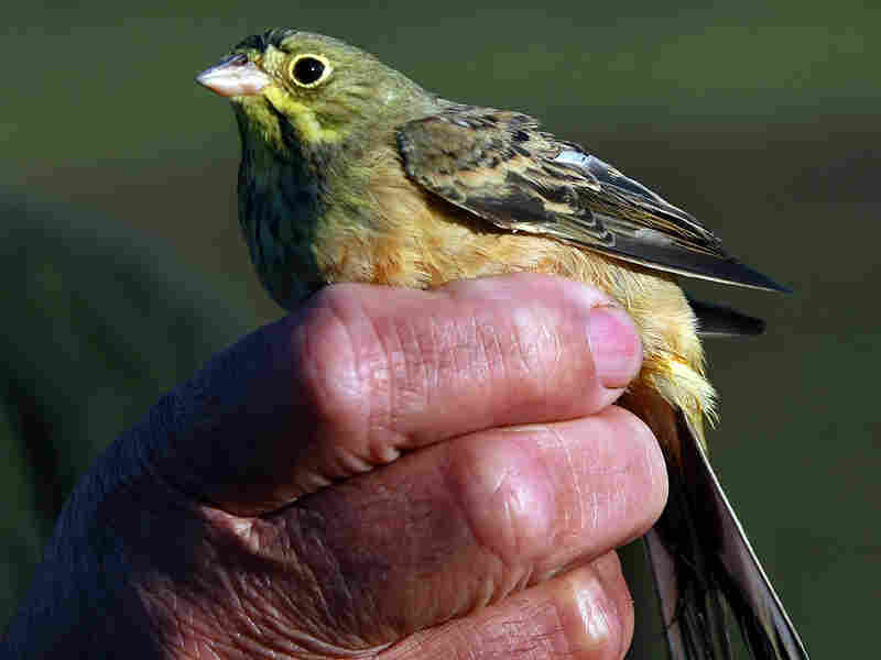 A male Ortolan Bunting is held by a man in southwestern France.