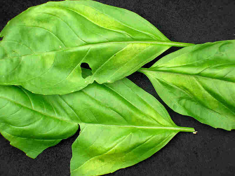 The yellowing of basil leaves is an indicator of basil blight.