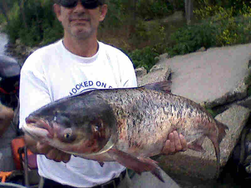 A fisheries biologist holds a bighead carp caught in Lake Calumet