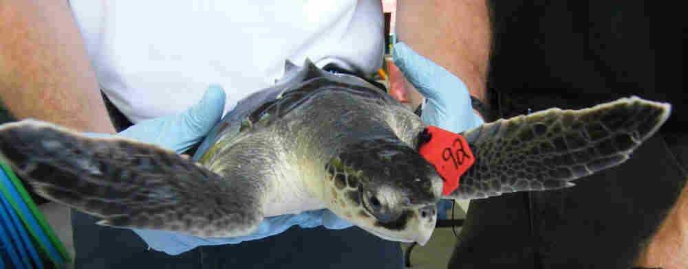 A Kemp's ridley sea turtle is cared for by the Audobon Nature Institute's Aquatic Centerin in La.
