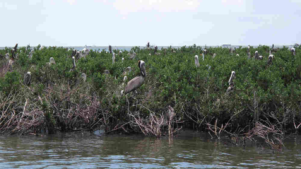 The pelican rookery at Cat Island. Brian Naylor/NPR