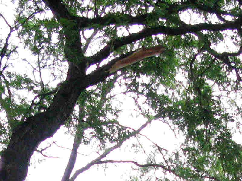 The broken tree branch in Central Park that fell and caused a death and injury.