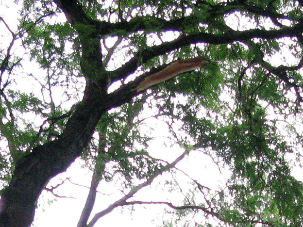 A limb broke off this seemingly healthy Central Park tree and fell Saturday, injuring a mother and killing her 6-month-old baby.