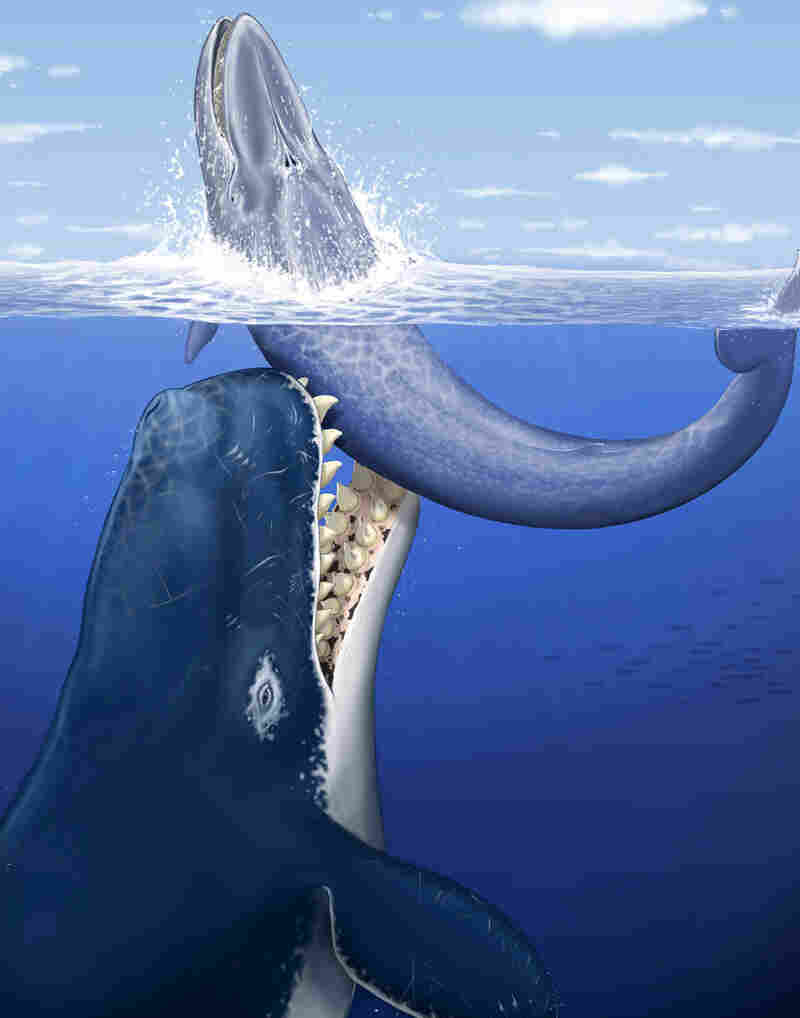 Artist's rendition of Leviathan melvillei attacking a medium-size baleen whale