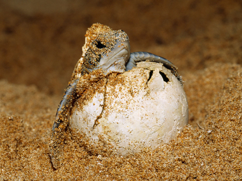 A sea turtle hatches.