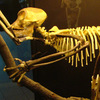 The skeleton of an early and extinct primate called Proconsul.