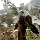 A goat munching some brush in a Los Angeles park.