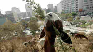 Weed-Whacking Goats Will Work For Food