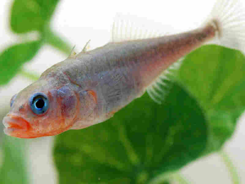 A male stickleback in full mating color.