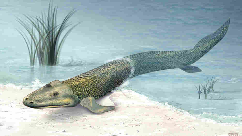 An illustration of what the sea creature Tiktaalik may have looked like.