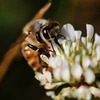 A bee pollinates a wildflower.