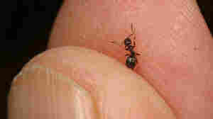 Tapinoma sessile, otherwise known as the odorous house ant.