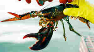 A lobster is measured to determine whether it is of legal size on a boat off Cundy's Harbor, Maine.
