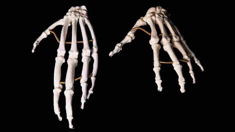 Hand skeletons of an ape, left, and human