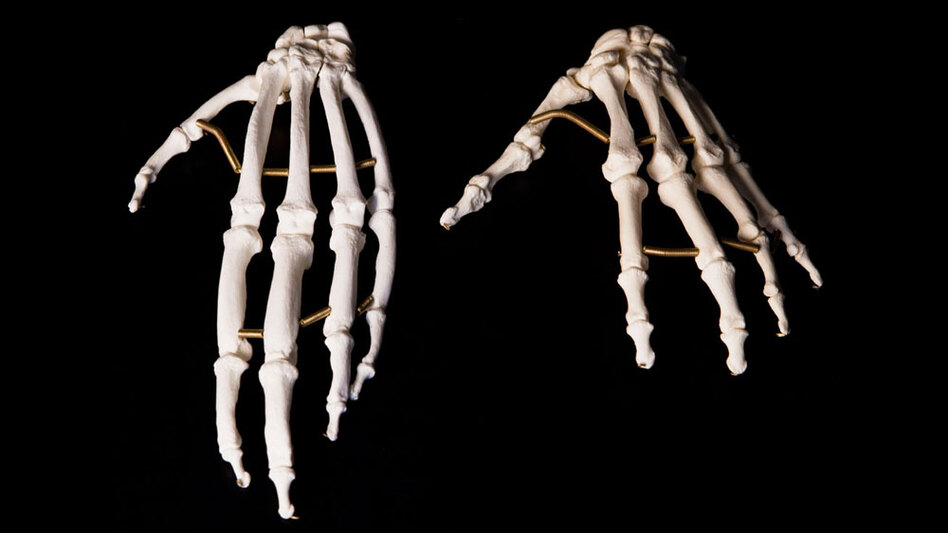 An ape's fingers are long and good for hanging from branches, while the human hand (right) has a long, strong thumb that makes the hand more versatile.