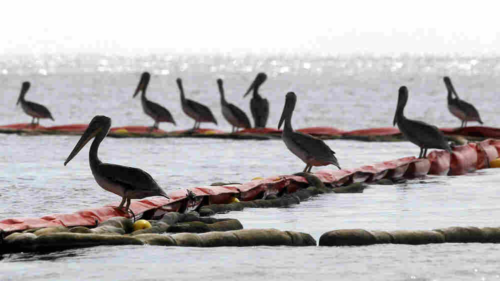 Pelicans rest on an oil retention boom near Grand Isle, La. Mario Tama/Getty Images