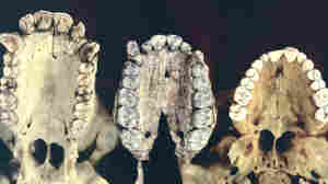 Comparison of chimpanzee, A. afarensis and human denition.
