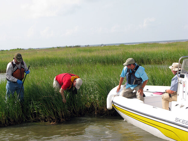 The Natural Resource Damage Assessment team inspects where oil landed at this wetland. The team, from left: Bob Nailon and Charles Johnson representing BP; Rich Takacs from NOAA; and Chris Grant, who represents the state of Louisiana.