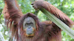 Orangutans Aren't Lazy, Just Evolved To Hang Around