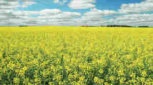 Genetically Modified Canola 'Escapes' Farm Fields