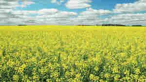 Canola field in North Dakota