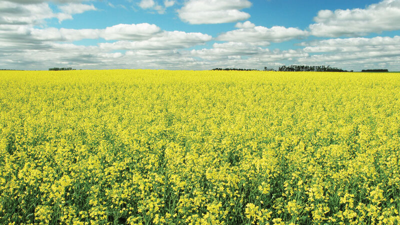 Genetically modified canola escapes farm fields npr genetically modified canola escapes farm fields mightylinksfo