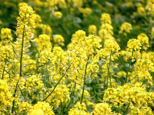 Genetically modified canola escapes farm fields npr enlarge this image mightylinksfo Images