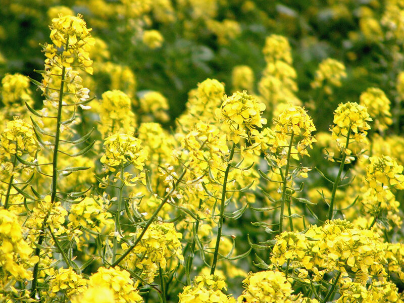 Genetically modified canola escapes farm fields npr enlarge this image mightylinksfo