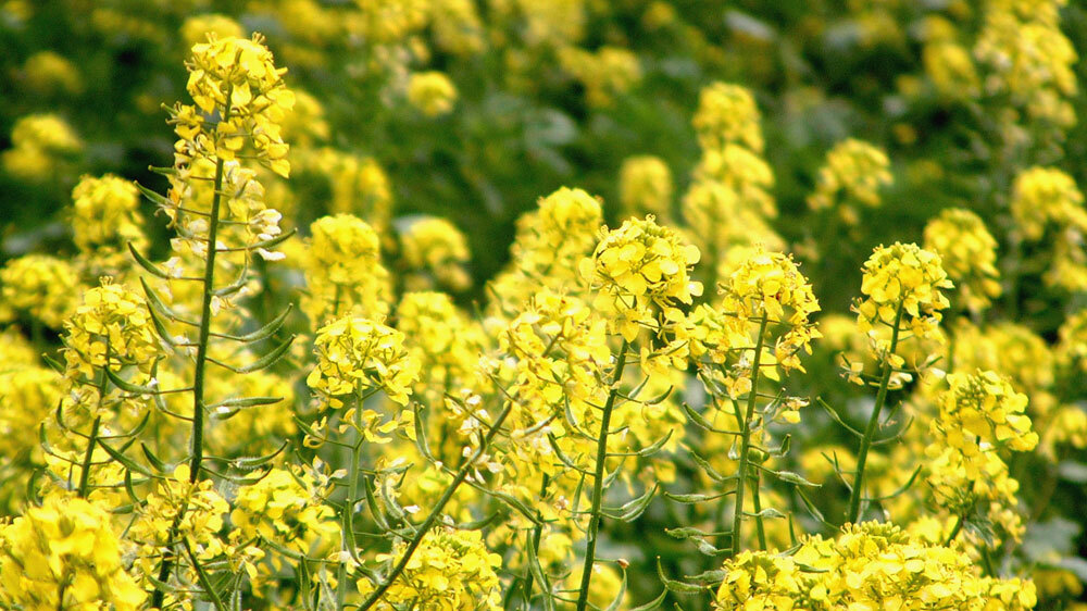 Car Talk Podcast >> Genetically Modified Canola 'Escapes' Farm Fields : NPR