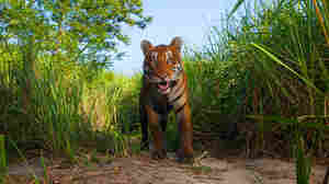 Smiling tiger image by Steve Winter