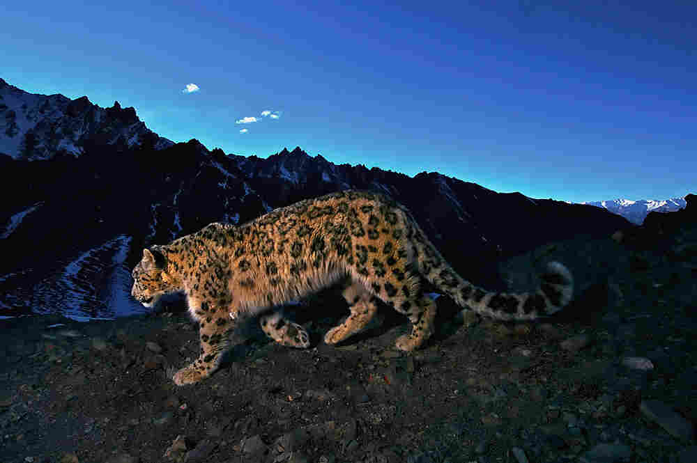 Snow leopard skulking in the mountains