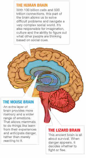 A graphic noting sections of the human brain