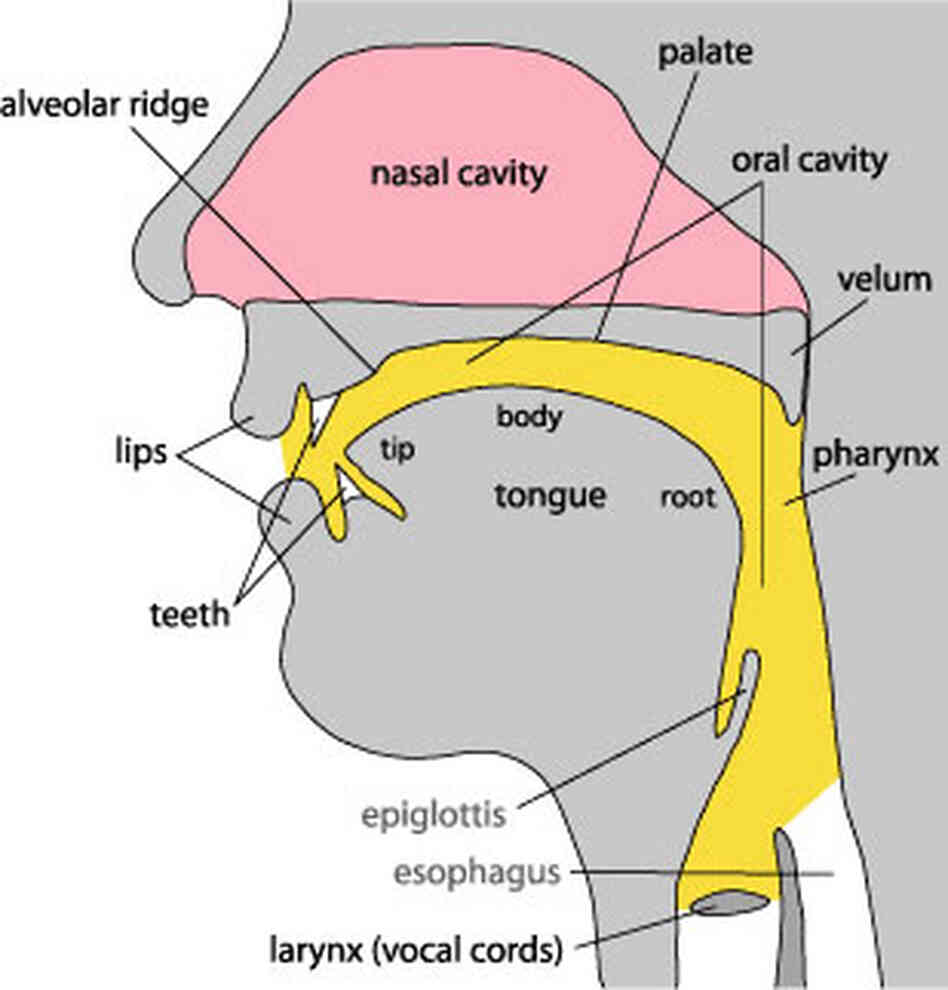 Humans have flexibility in the mouth, tongue and lips that lets us form a wide range of sounds.