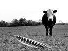 A cow and a feather in southern Indiana