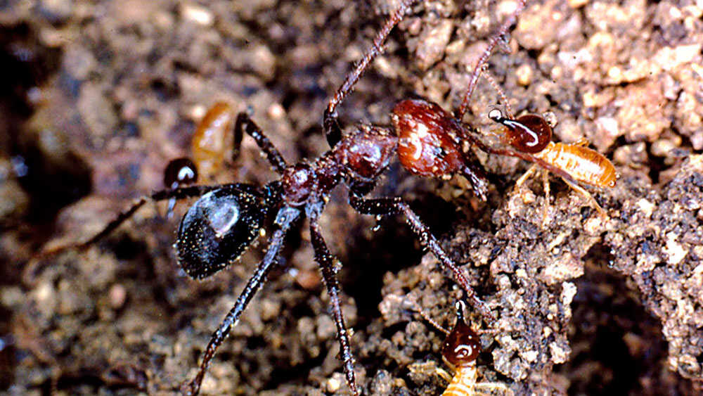 An Australian meat ant covered with sand and debris.