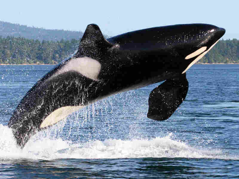 Orca whale near the San Juan Islands