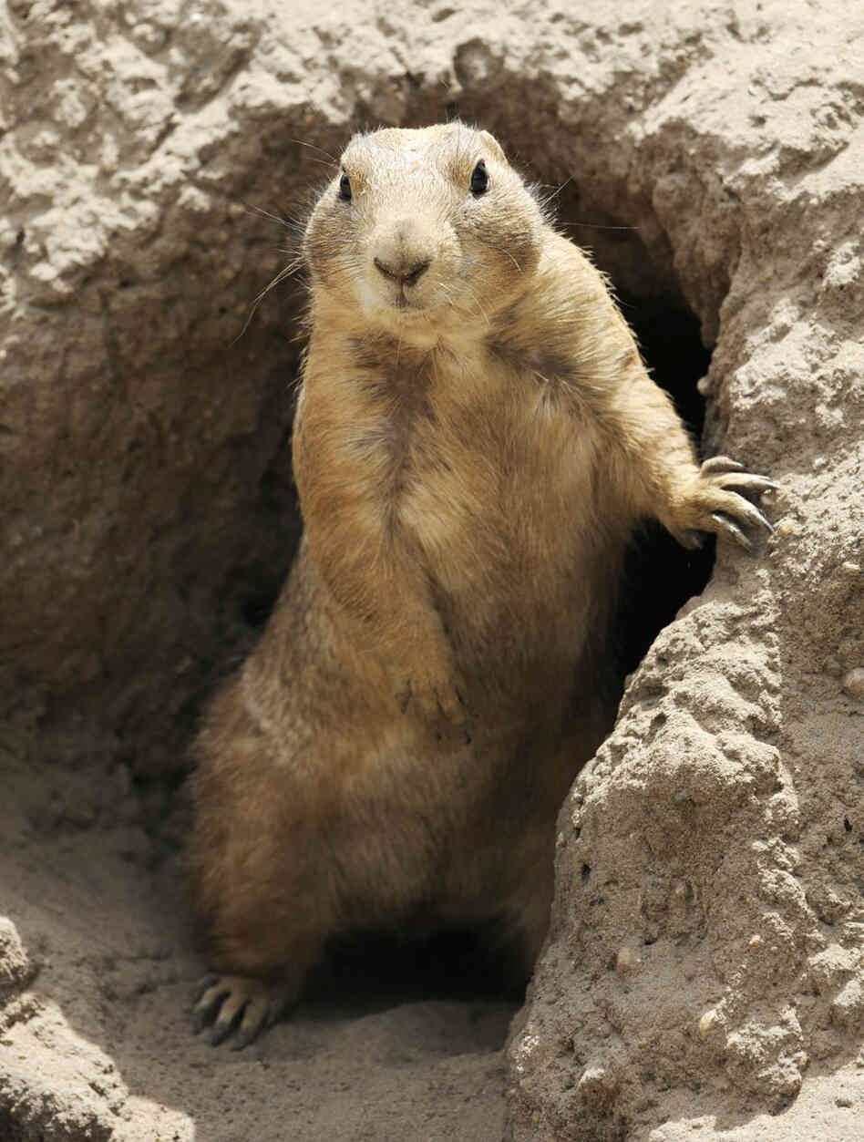 how to catch a prairie dog