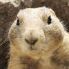 A black-tailed prairie dog.  Barbara Sax/AFP/Getty Images