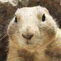 Culprit Of Prairie Dogs' Drama May Be Caught