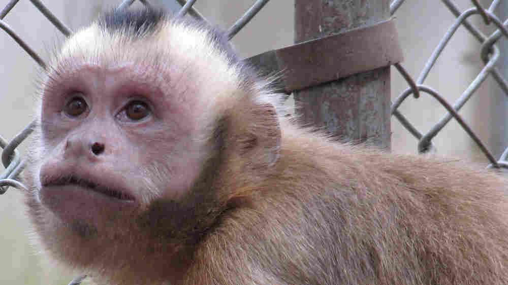 Liam, a capuchin monkey