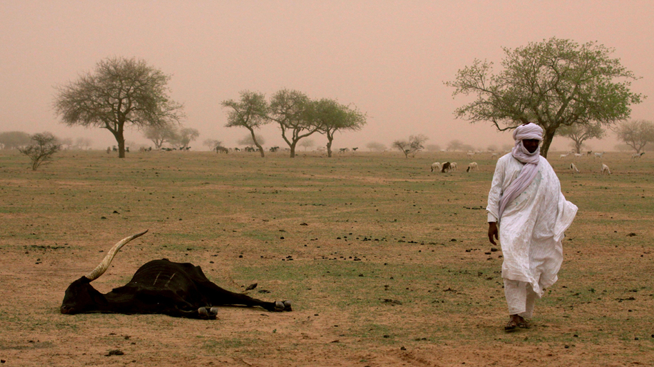 Nomadic tribal chief Ibrahim Mangari walks past the carcass of a cow that he says died of hunger in Gadabeji, Niger, in May. International aid groups once again warn that this nation of 15 million on the verge of the Sahara faces a food crisis.