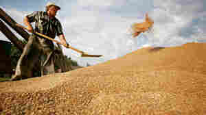 A Russian man shovels grain