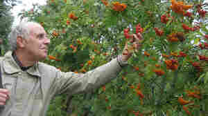 "Leonid Burmistrov, a researcher at the Vavilov Institute, stands amid orange ""sorbus."""